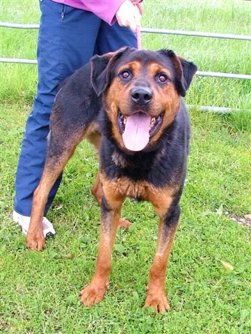 Jason, Rottie/gsd x homed 002