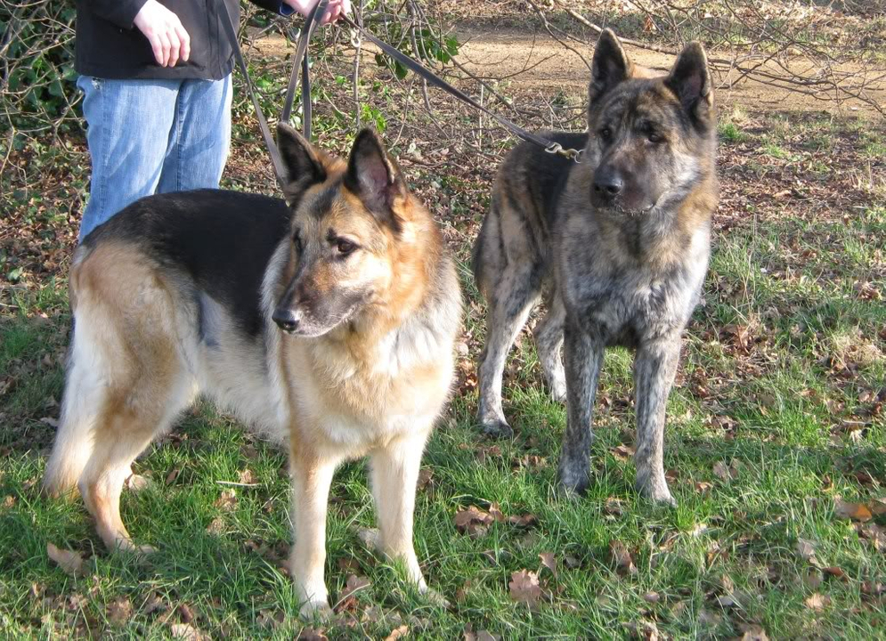 Archie 3 year old GSD/Akita cross homed ARCHIEWITHTESS