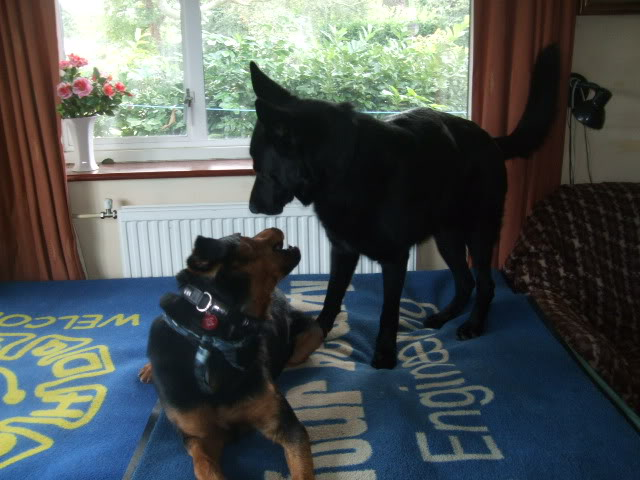Jason, Rottie/gsd x homed DSCF7458