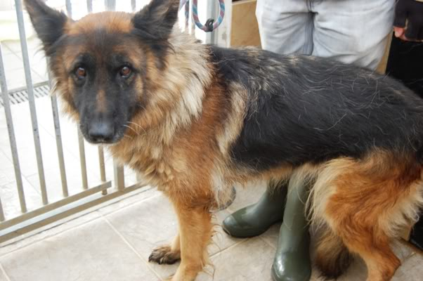 Penny 6yr old in Ireland homed GSDFPOUND