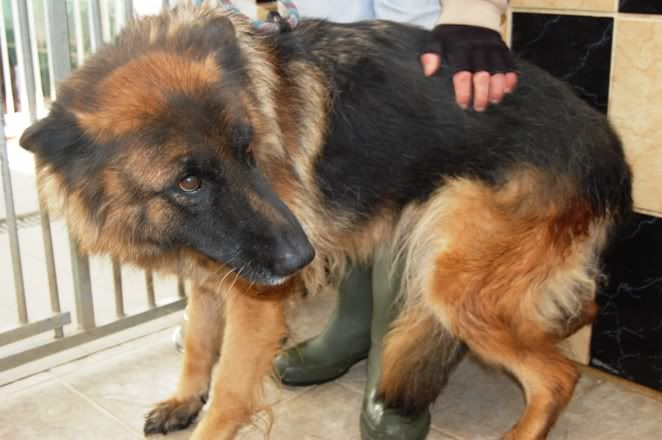 Penny 6yr old in Ireland homed GSDFPOUND1