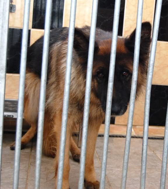Penny 6yr old in Ireland homed GSDFPOUND2