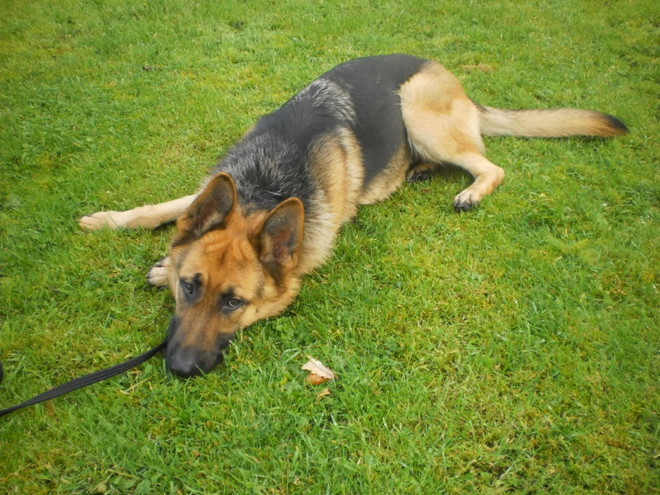 Cleo 19 months gsd homed PICT0031_1_