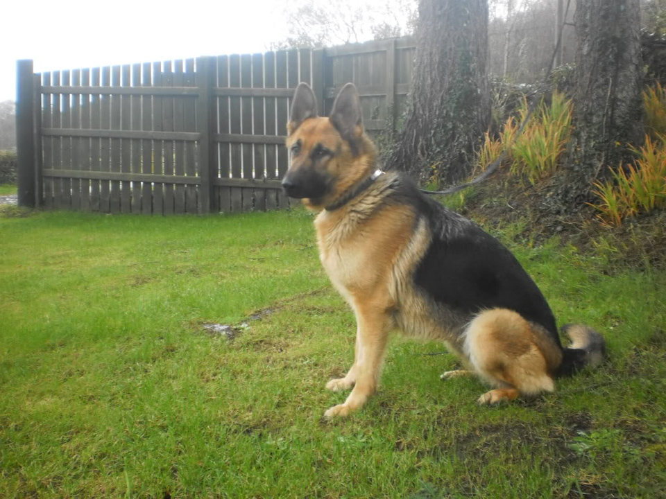 Cleo 19 months gsd homed PICT0035