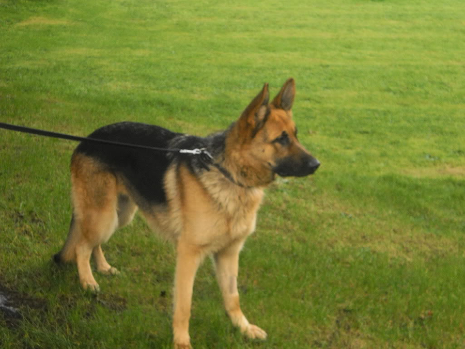 Cleo 19 months gsd homed PICT0046