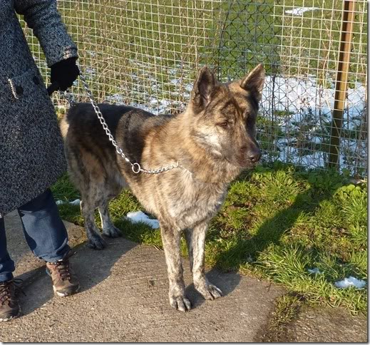 Archie 3 year old GSD/Akita cross homed Archie1
