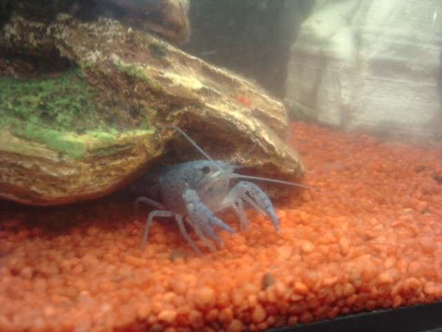 ECREVISSE DE FLORIDE Procambarus alleni