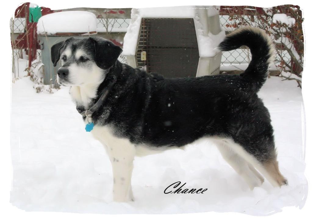 Anyone with a husky and basset hound mix? Chance