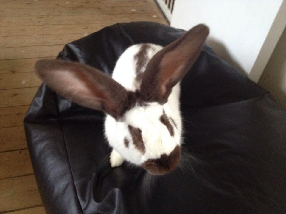 This is my 7 month old giant papllion rabbit hi to u all  16dea0bd3610e6ef05b239311d065b2b_zpsfacb6f39