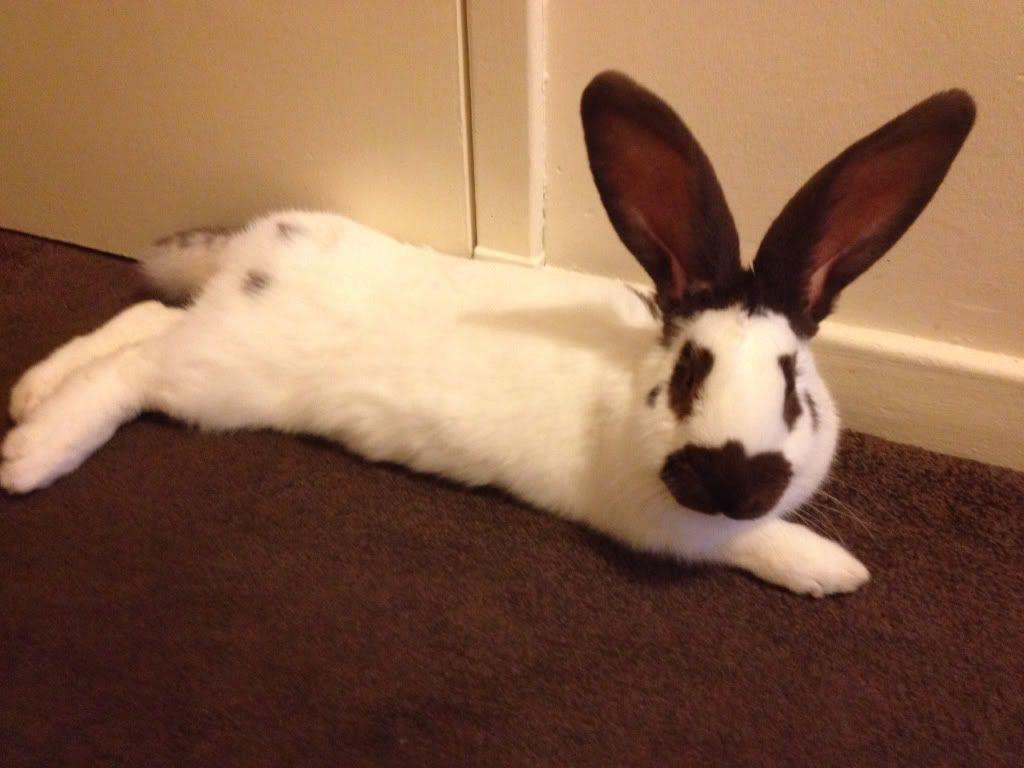 This is my 7 month old giant papllion rabbit hi to u all  23e0ff15b4964cf1e228975da194fa95_zps34f17cba