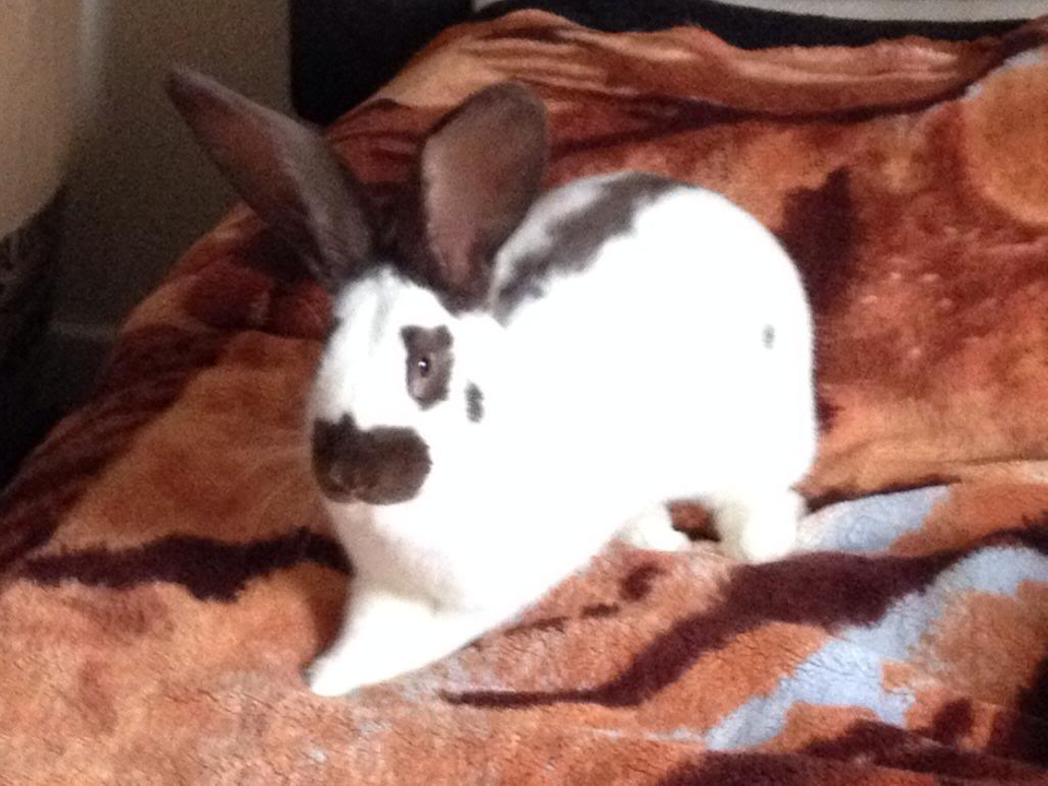 This is my 7 month old giant papllion rabbit hi to u all  Image_zpsf11f8372