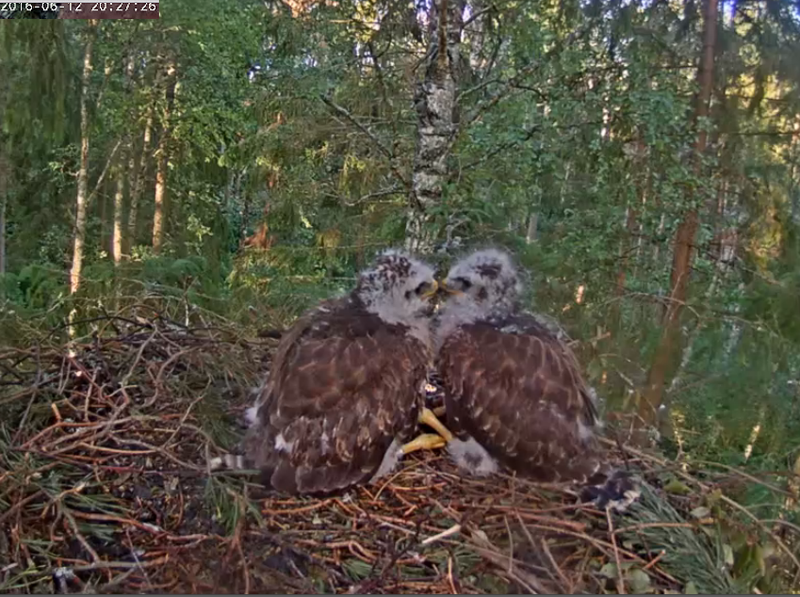 Buzzard Cam 1 - Mari and Mihkel - Page 12 Buzzards%20brotherly_zpszsuyjd3a