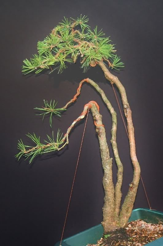 scotts pine raw material - have a virtual play 001531x800