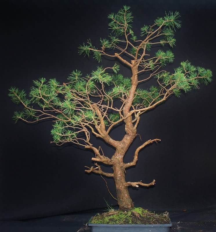 scotts pine raw material - have a virtual play 001745x800