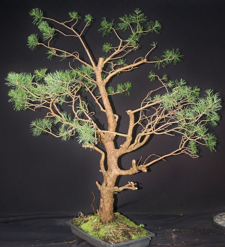 scotts pine raw material - have a virtual play 002729x800