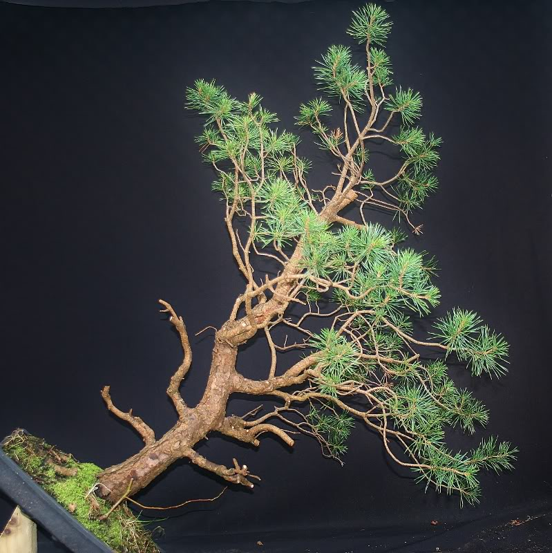 scotts pine raw material - have a virtual play 004799x800