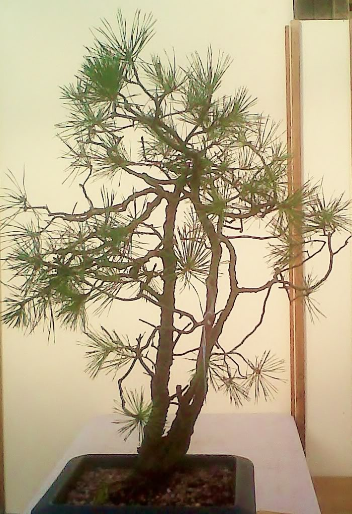 scotts pine raw material - have a virtual play IMG00020-20111022-1337