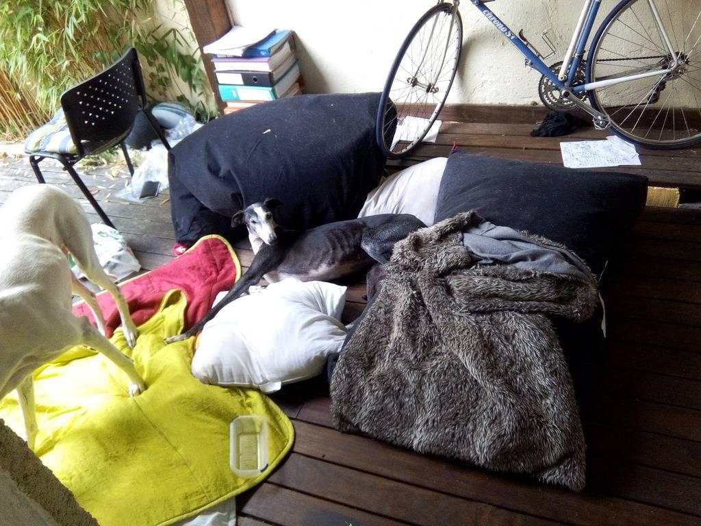 Ligera galga blanche et noire, 4 ans Scooby France Adoptée  - Page 4 IMG_20150814_112113_zpsyy4xic1q