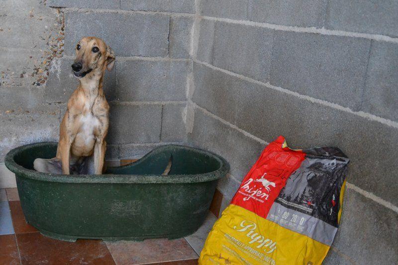 Julito galguito à l'adoption  Scooby France Adopté Temporary_zpsi3tpcsnz