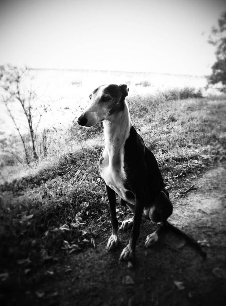 Ligera galga blanche et noire, 4 ans Scooby France Adoptée  - Page 4 Temporary_zpstqkuhdqj