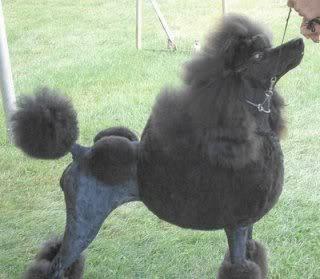 Vistiendose con el pelo de Poodle POODLE01