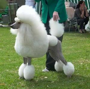 Vistiendose con el pelo de Poodle POODLE10