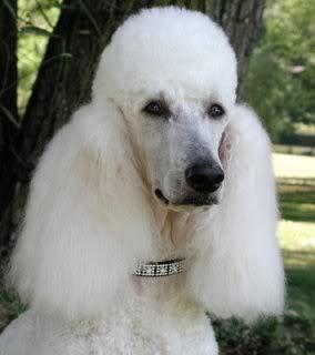 Vistiendose con el pelo de Poodle POODLE4