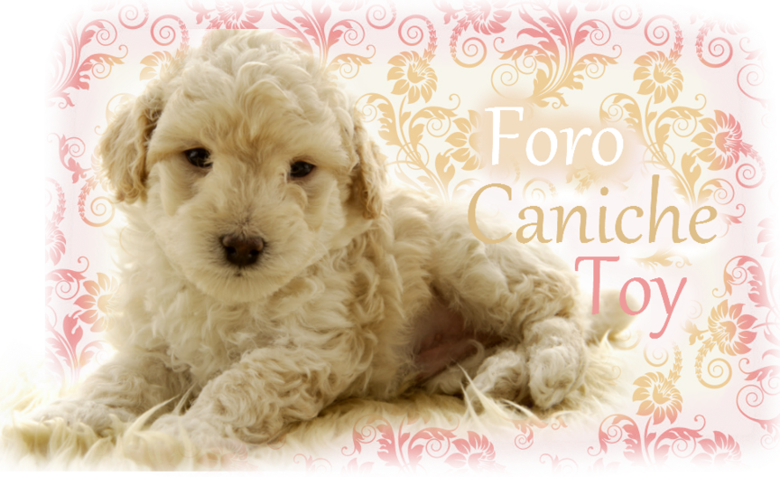 Caniche Toy:: Foro