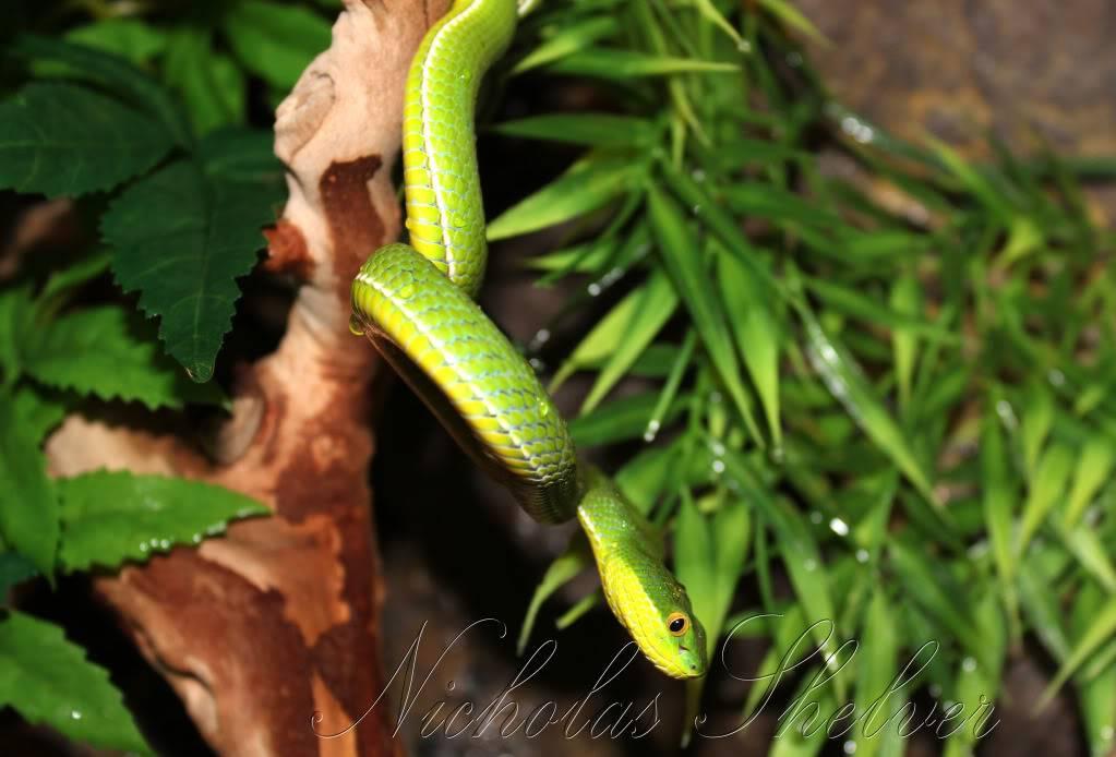 Whitelip Tree Viper IMG_1639