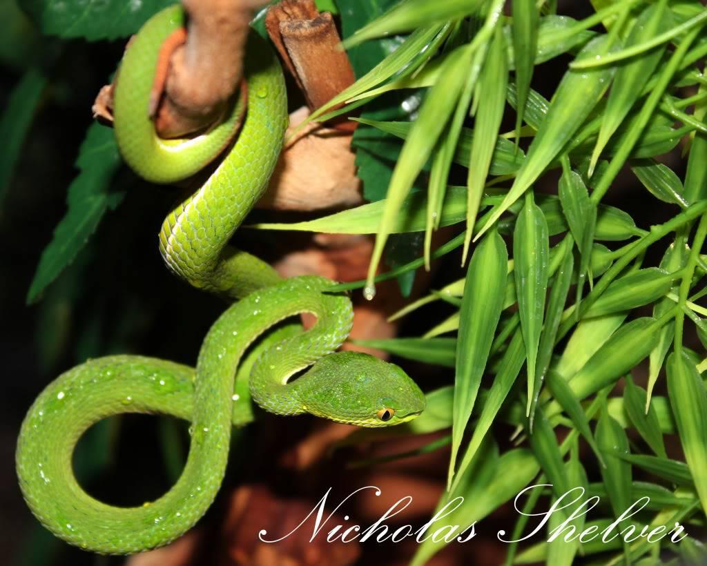 Whitelip Tree Viper IMG_1645