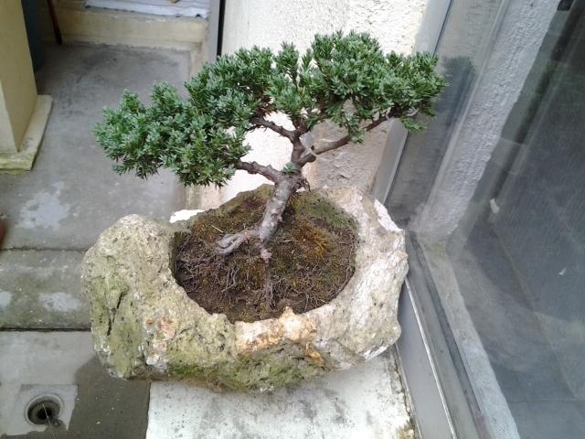 Ayuda mi junipero se esta secando 2012-01-04160406