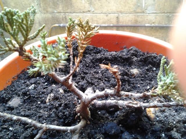 Ayuda mi junipero se esta secando 2012-05-04094946