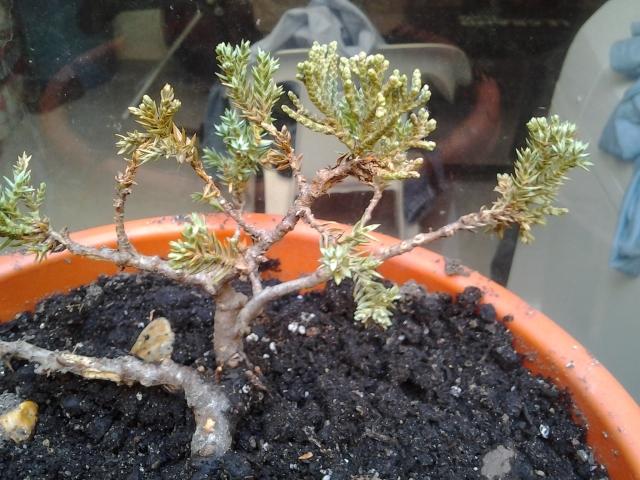 Ayuda mi junipero se esta secando 2012-05-04100324