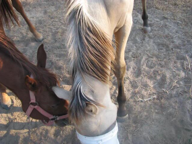 Silver Buckskin? Farm1193