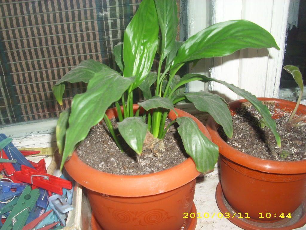 Crinul pacii sau spathiphyllum IMG_2675