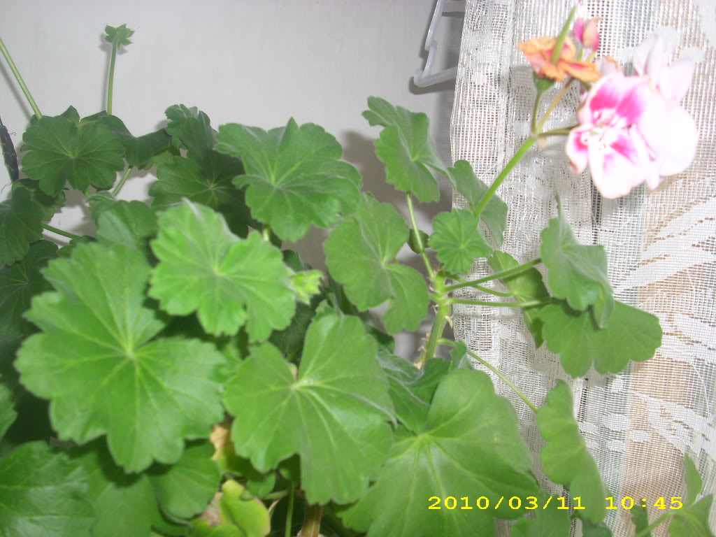 Muscata IMG_2684