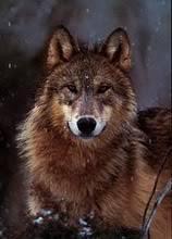 Profile - Marrok of Helidos Wolf29Woodland