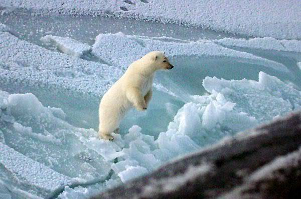 COLORES North-pole-polar-bear