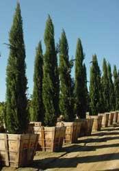 VEGETALES Cipres