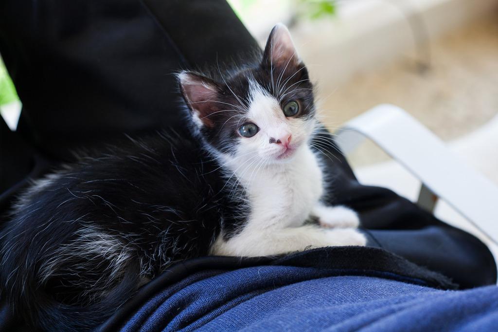 Χαρίζεται η όμορφη Μπέμπα, το θηλυκό ασπρόμαυρο γατάκι που γλύτωσε στο παρά πέντε. Υιοθετήθηκε!!! 10_zpsfrkbjfyx