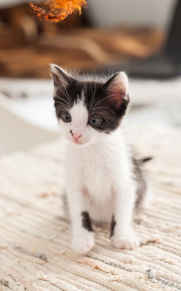 Χαρίζεται η όμορφη Μπέμπα, το θηλυκό ασπρόμαυρο γατάκι που γλύτωσε στο παρά πέντε. Υιοθετήθηκε!!! 12_zpsyjulwahj