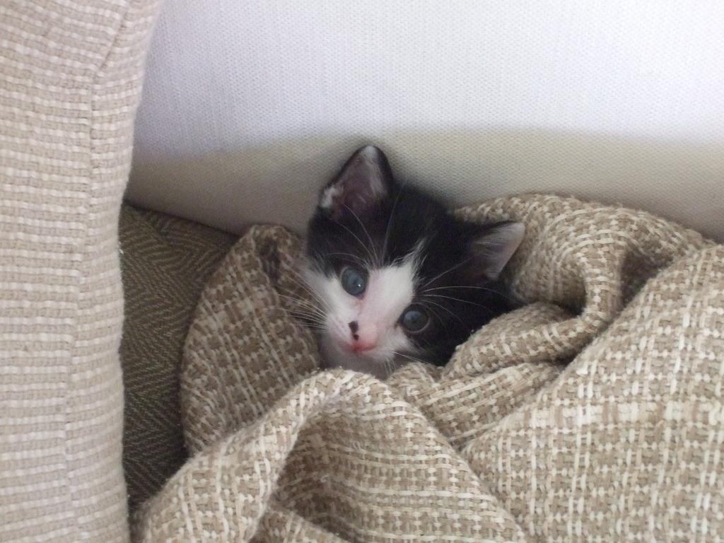 Χαρίζεται η όμορφη Μπέμπα, το θηλυκό ασπρόμαυρο γατάκι που γλύτωσε στο παρά πέντε. Υιοθετήθηκε!!! 17_zpse5eyanuz