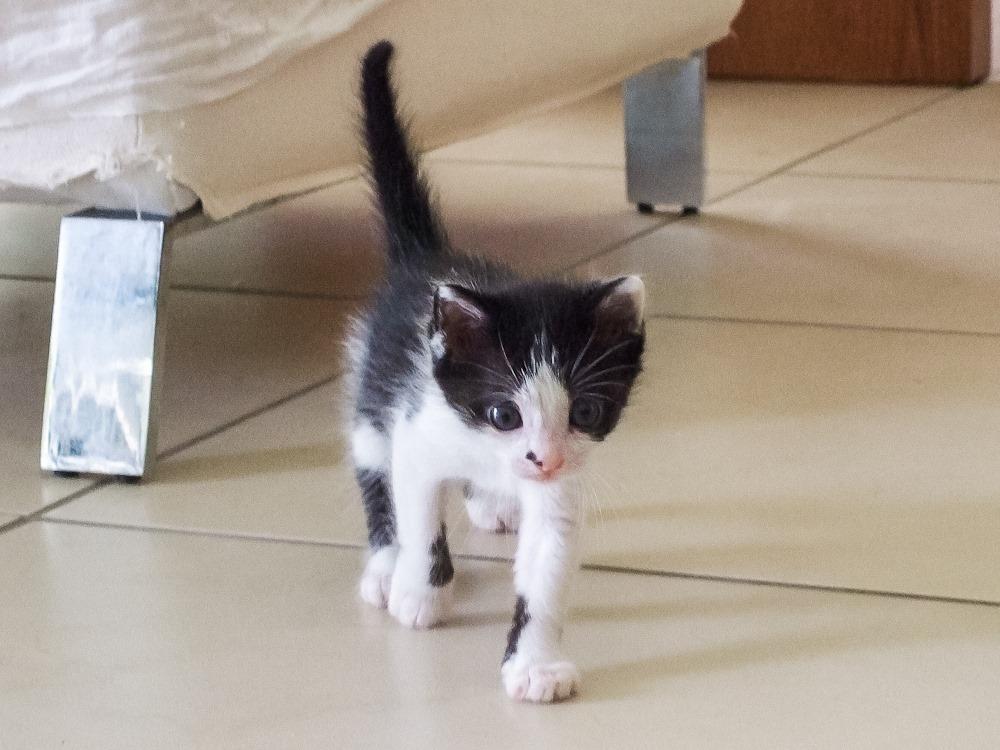 Χαρίζεται η όμορφη Μπέμπα, το θηλυκό ασπρόμαυρο γατάκι που γλύτωσε στο παρά πέντε. Υιοθετήθηκε!!! 3_zpsxrj509dk