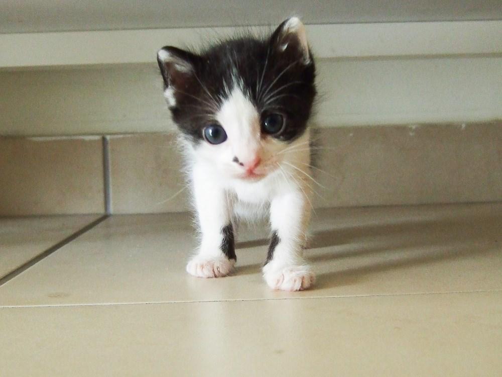 Χαρίζεται η όμορφη Μπέμπα, το θηλυκό ασπρόμαυρο γατάκι που γλύτωσε στο παρά πέντε. Υιοθετήθηκε!!! 4_zpsfderrfcu