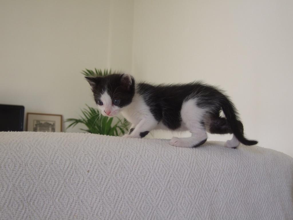 Χαρίζεται η όμορφη Μπέμπα, το θηλυκό ασπρόμαυρο γατάκι που γλύτωσε στο παρά πέντε. Υιοθετήθηκε!!! 5_zpsfdvwtb9x