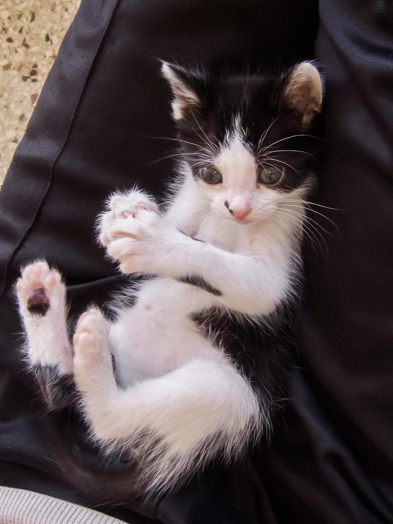 Χαρίζεται η όμορφη Μπέμπα, το θηλυκό ασπρόμαυρο γατάκι που γλύτωσε στο παρά πέντε. Υιοθετήθηκε!!! 7_zpsj355muab