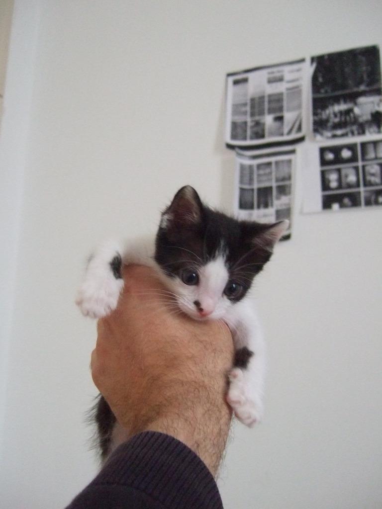 Χαρίζεται η όμορφη Μπέμπα, το θηλυκό ασπρόμαυρο γατάκι που γλύτωσε στο παρά πέντε. Υιοθετήθηκε!!! DSCF2253_zpsztiox8vj