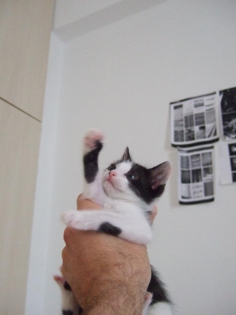 Χαρίζεται η όμορφη Μπέμπα, το θηλυκό ασπρόμαυρο γατάκι που γλύτωσε στο παρά πέντε. Υιοθετήθηκε!!! DSCF2255_zpslogn4t3d