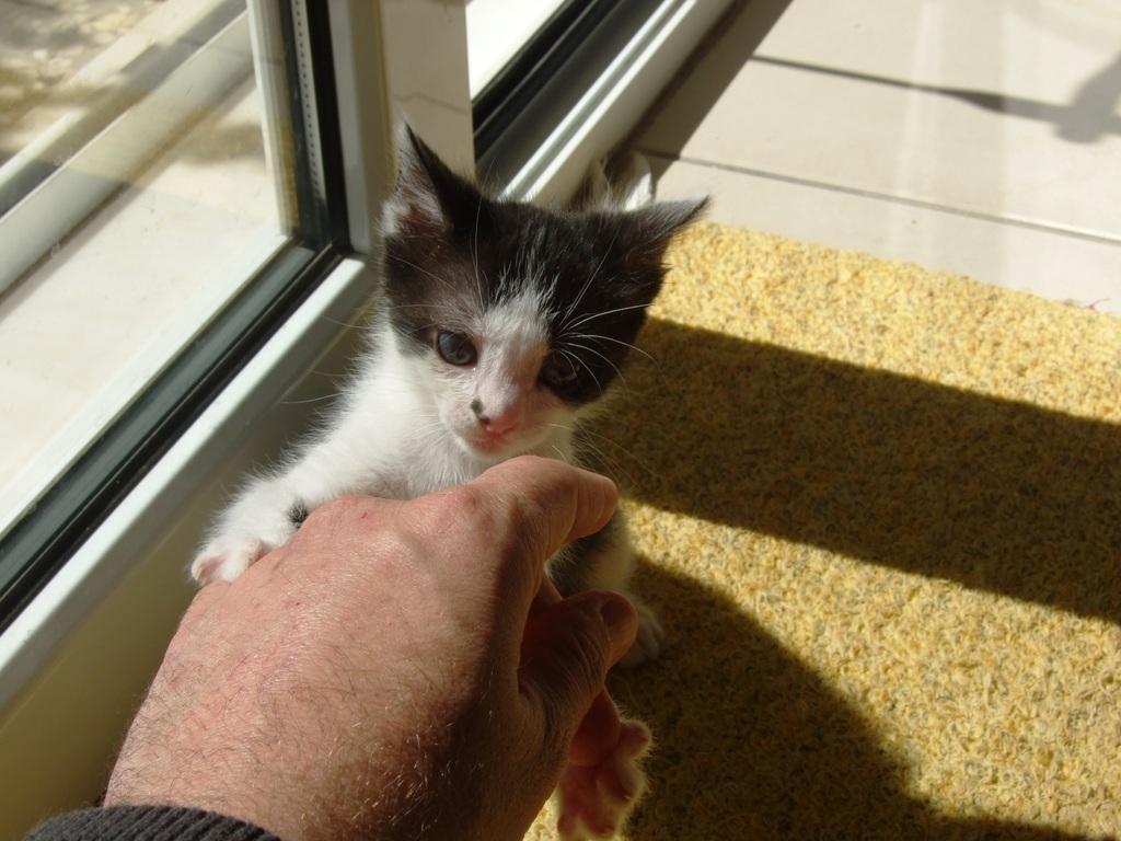 Χαρίζεται η όμορφη Μπέμπα, το θηλυκό ασπρόμαυρο γατάκι που γλύτωσε στο παρά πέντε. Υιοθετήθηκε!!! DSCF2316_zps6xawd1ow