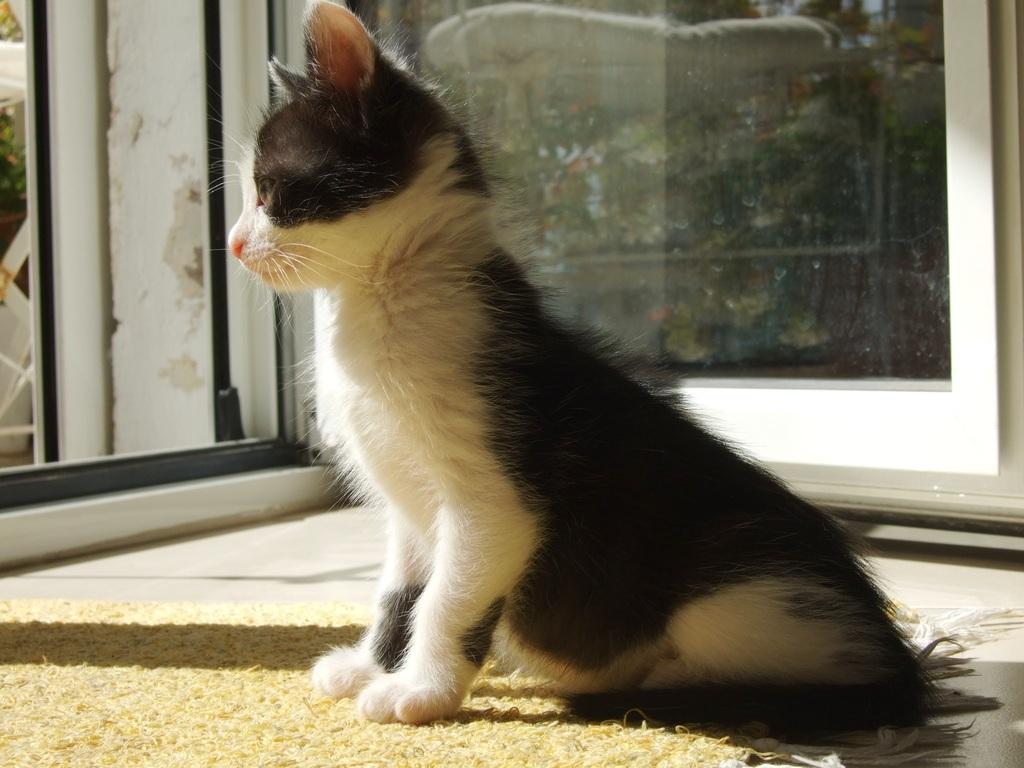 Χαρίζεται η όμορφη Μπέμπα, το θηλυκό ασπρόμαυρο γατάκι που γλύτωσε στο παρά πέντε. Υιοθετήθηκε!!! DSCF2330_zpsc6oxlvhv